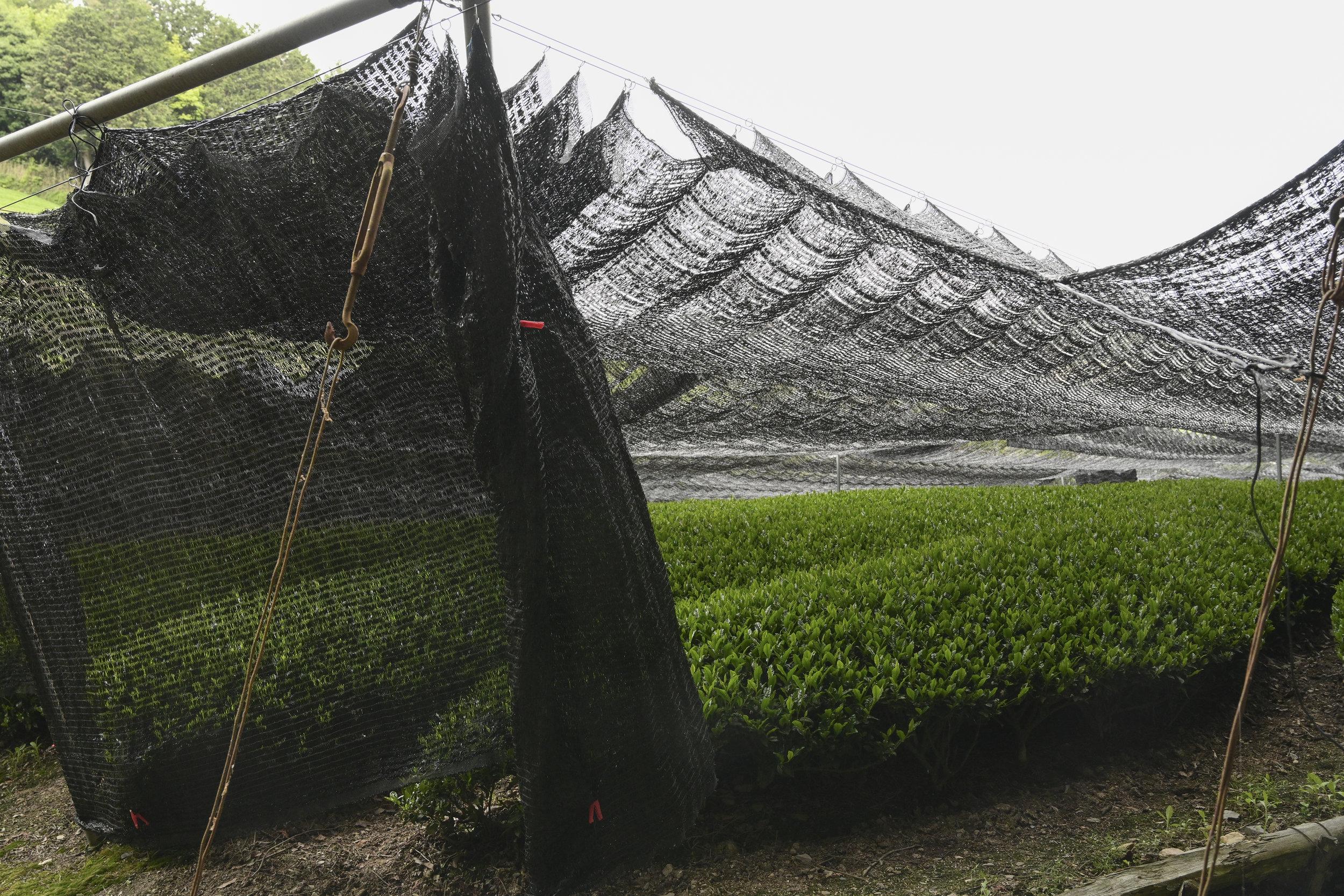 Wakuza Tea Plantations Hike14for blog.jpg