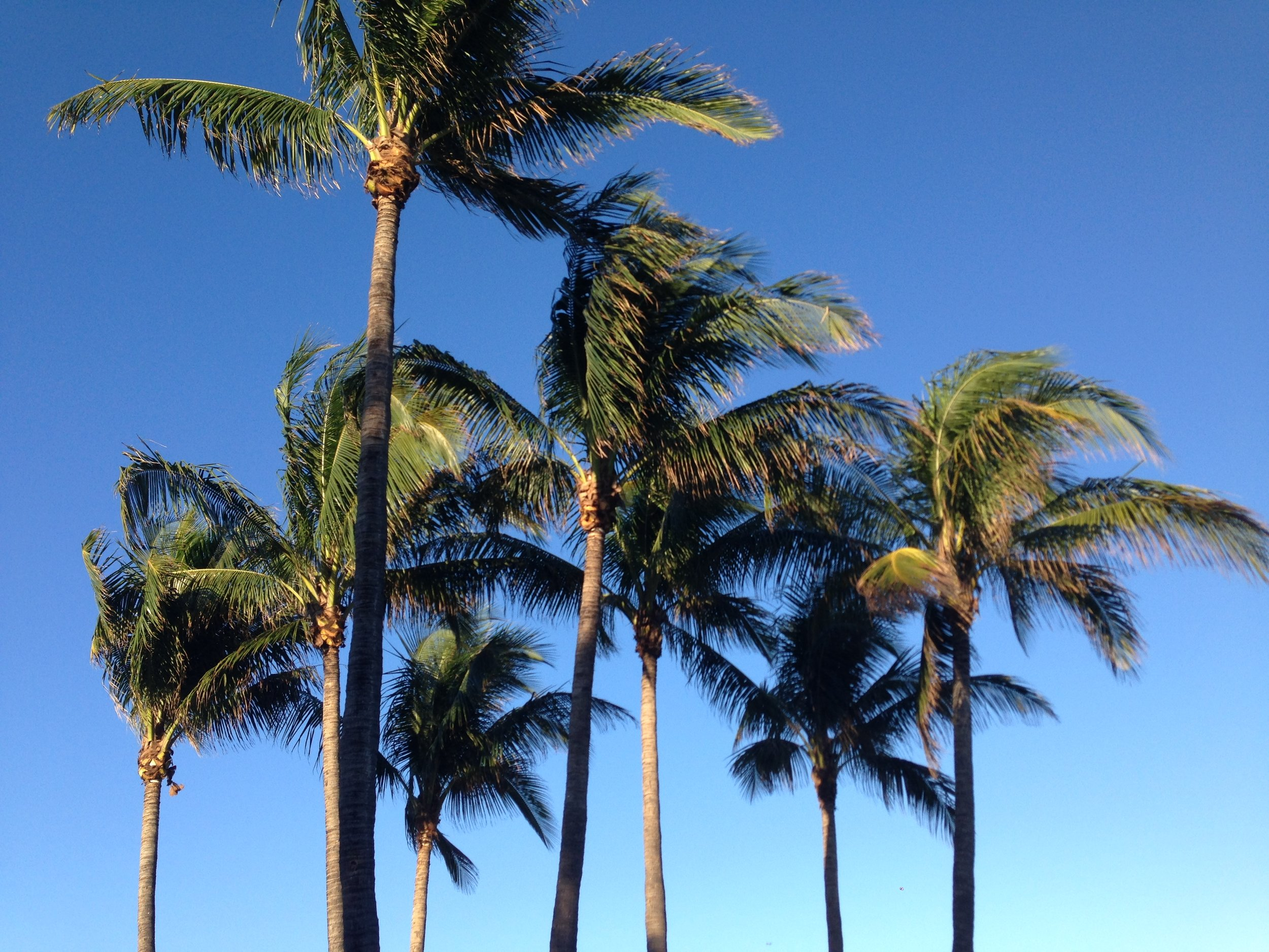 Miami Beach Palms
