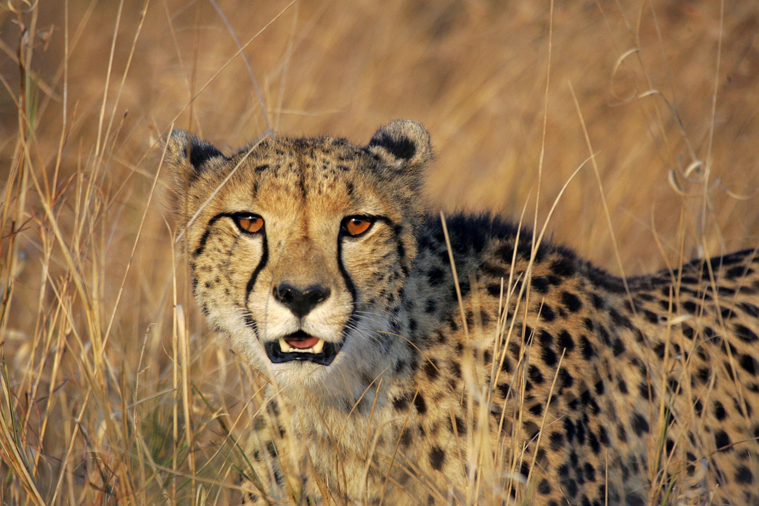 header-cheetah-sperka.jpg
