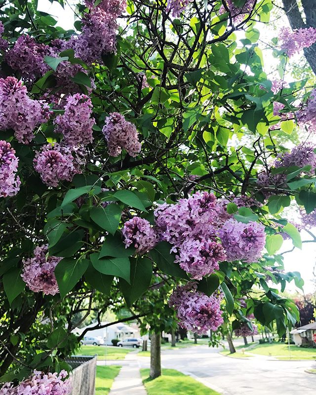 Long live lilacs & long weekends 💜