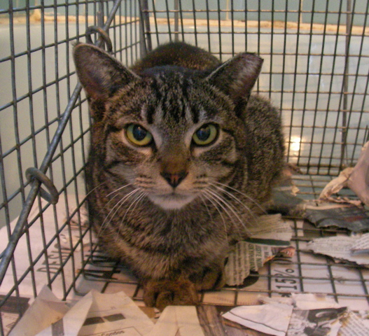 A TNR'd feral sits in a trap prior to release by WaHi Cats volunteers.
