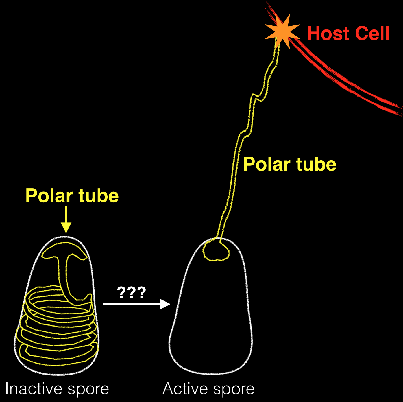 The polar tube mediates attachment to host cells and facilitates transfer of sporoplasm from the microsporidia spore to infect a target cell