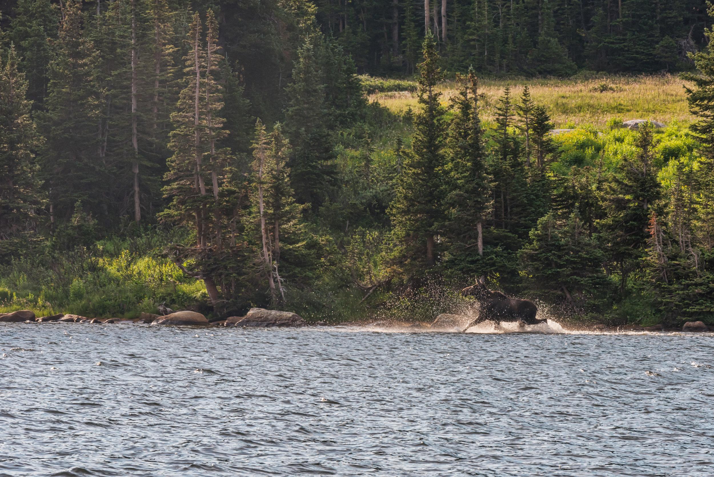 A moose running along the opposite shore of Long Lake.