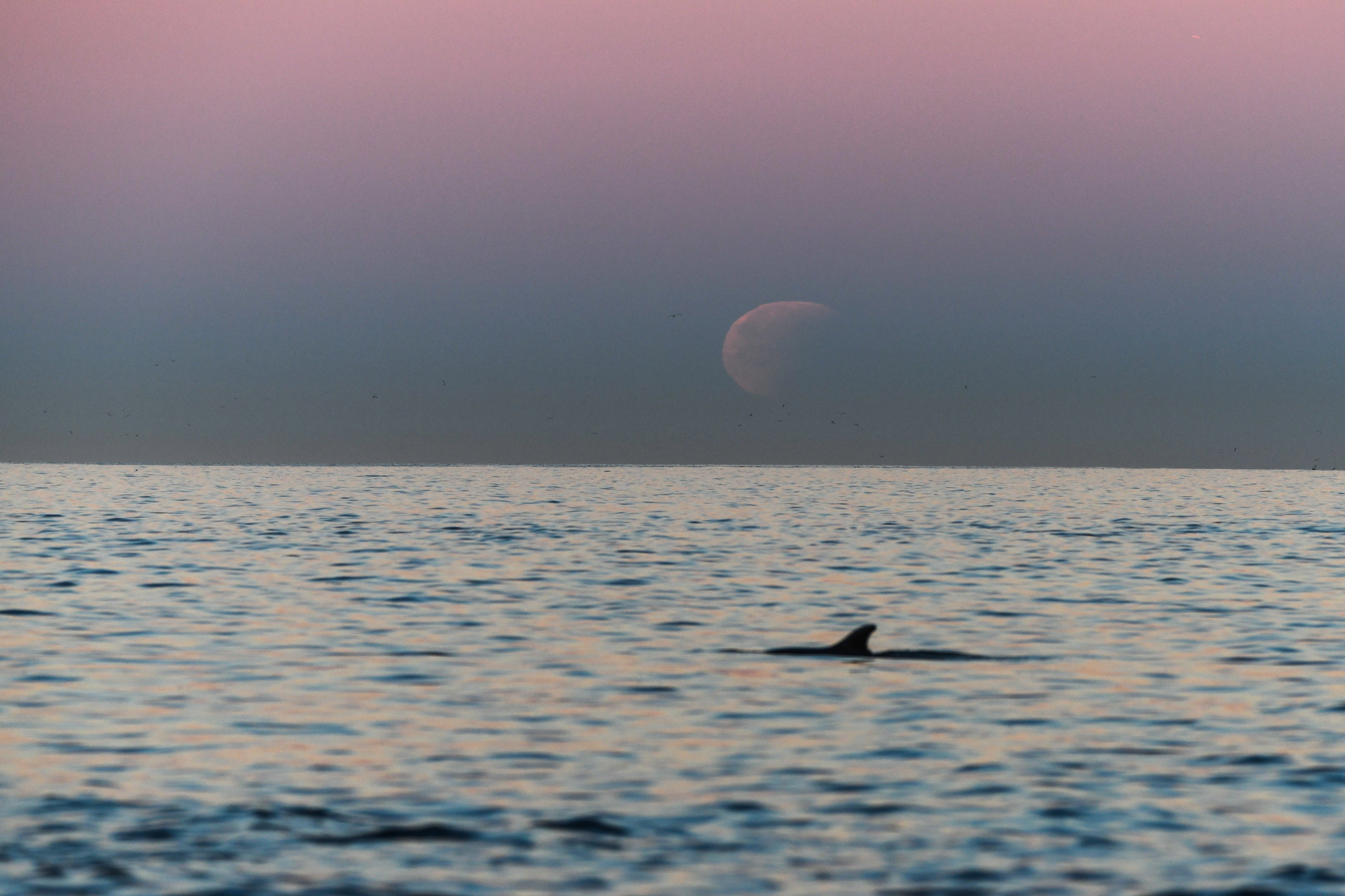 A porpoise swims through the frame during the final state of the lunar eclipse.