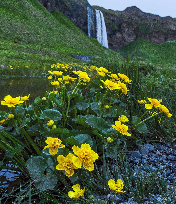 Yellow flowers at Seljalandsfoss