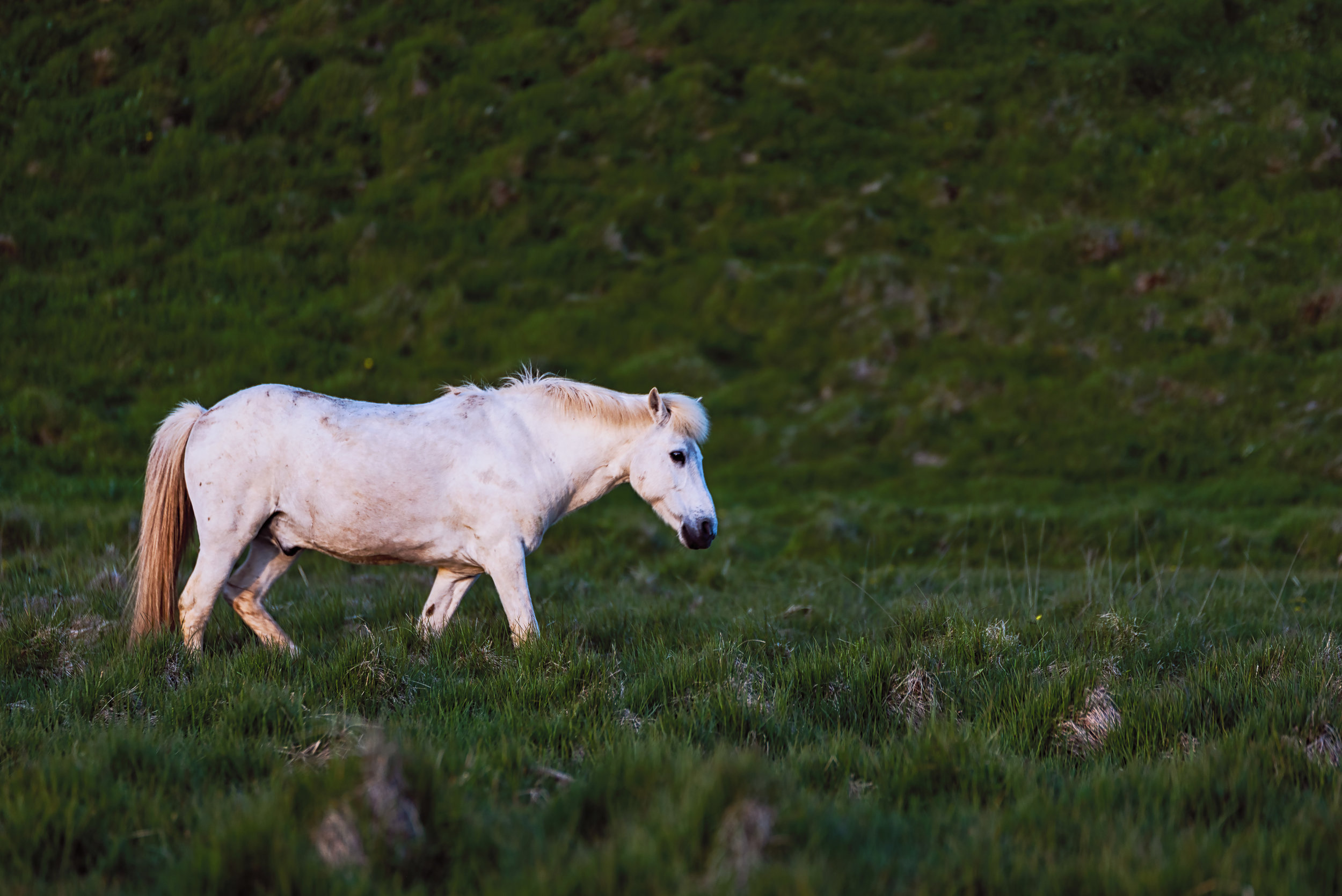 A night photo of an Icelandic horse