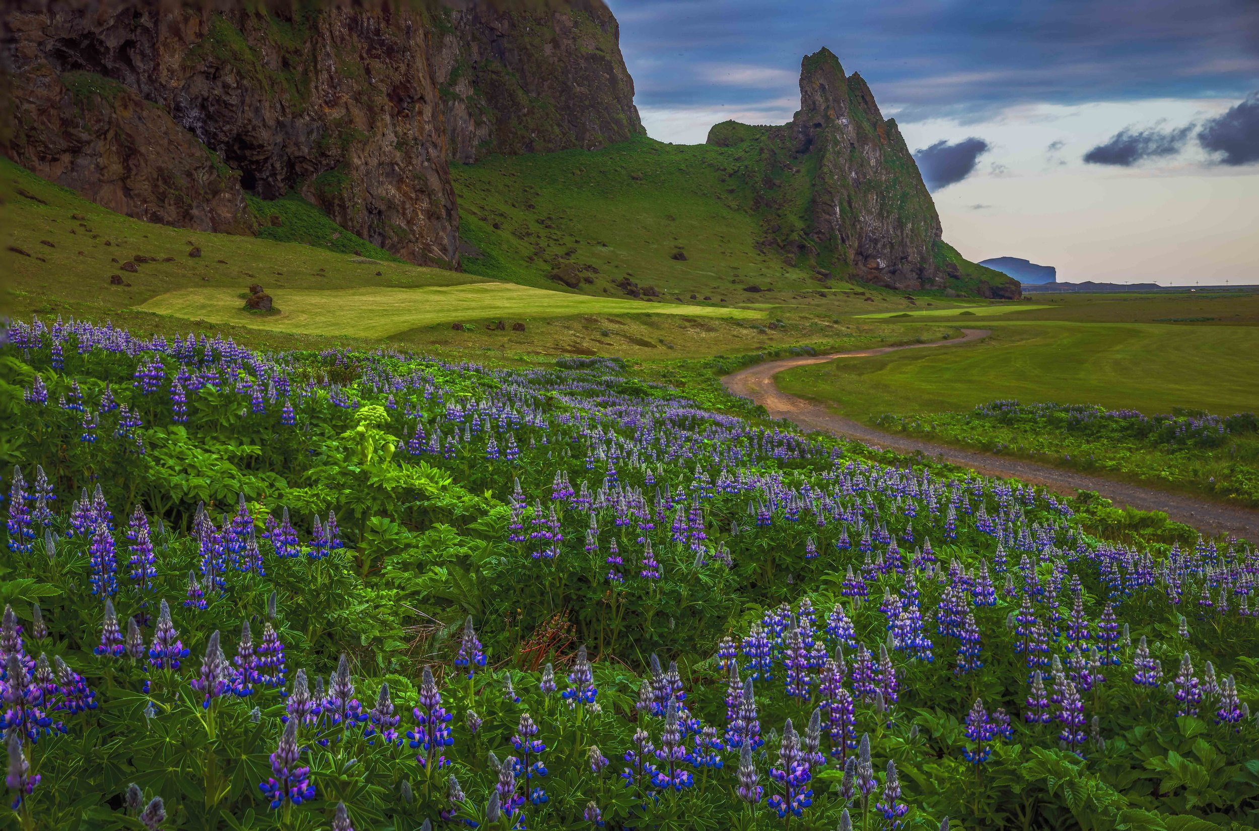 Lupine are a very common flower in Iceland during the month of June