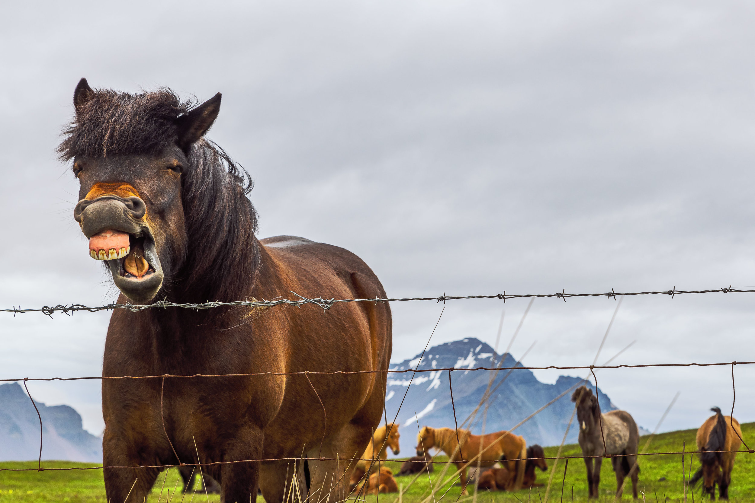 A photo of an Icelandic horse near Hofn, with Vestrahorn Mountain in the background.