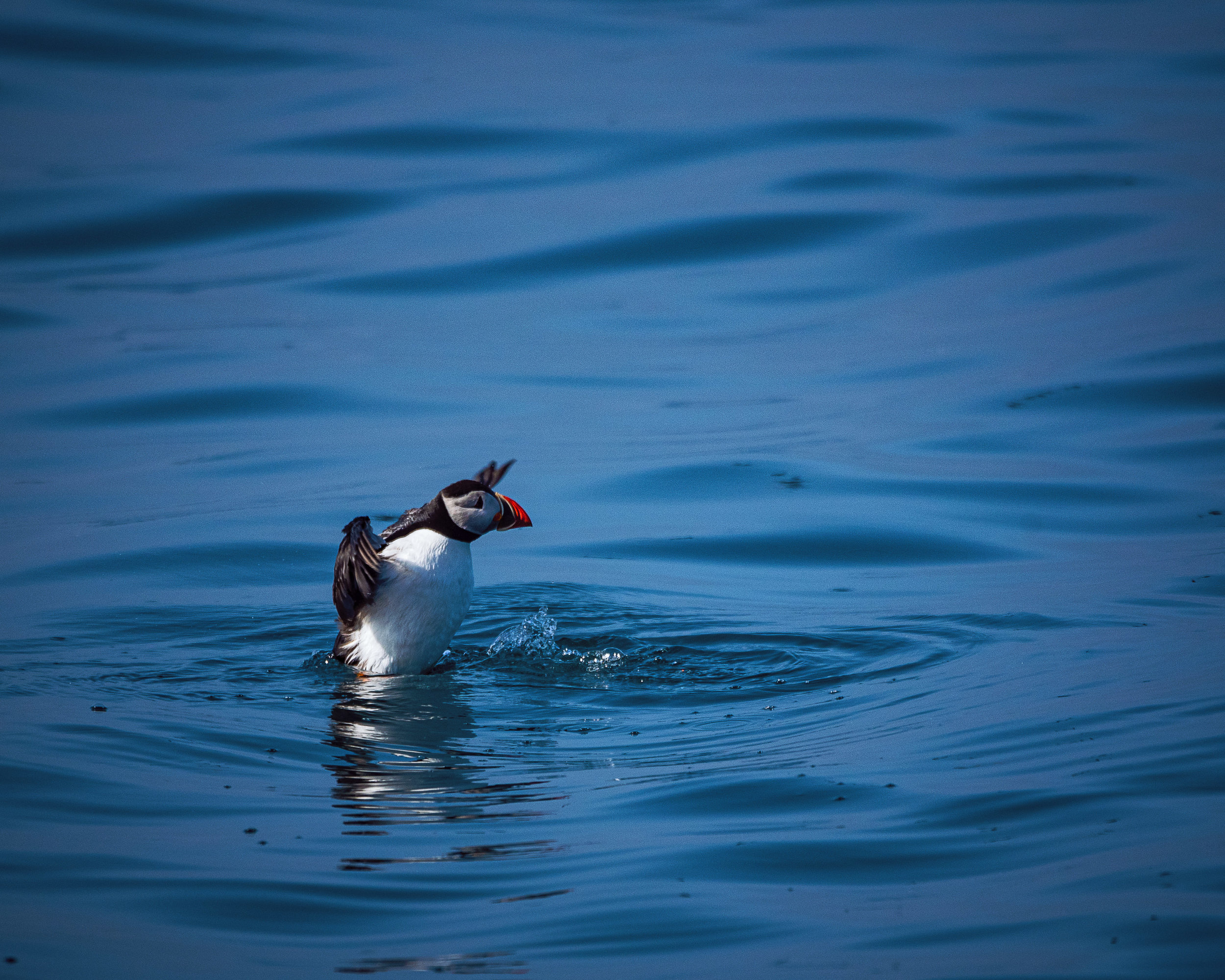 A puffin prepares to take flight