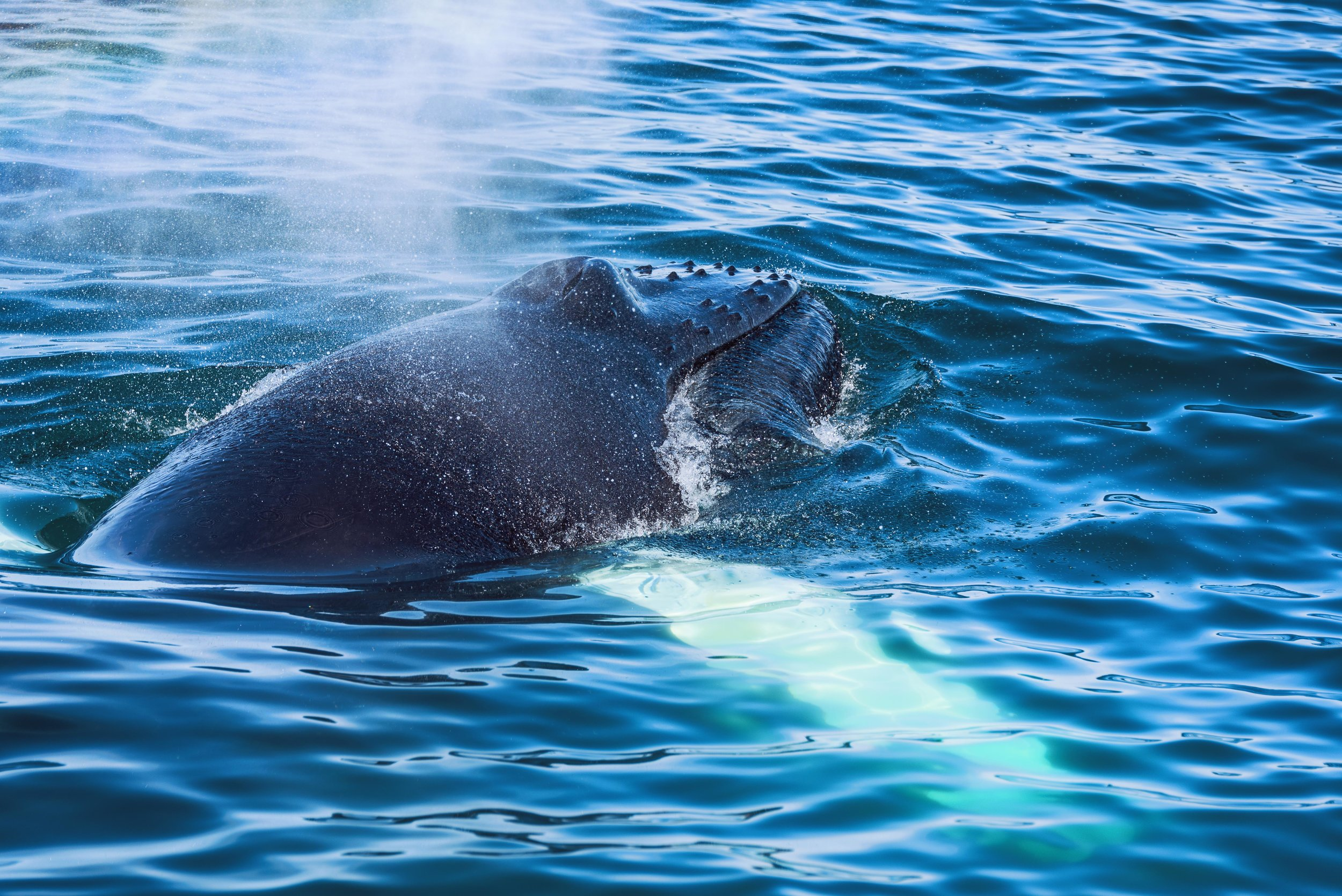 A humpback whale catching a breath of air at the surface