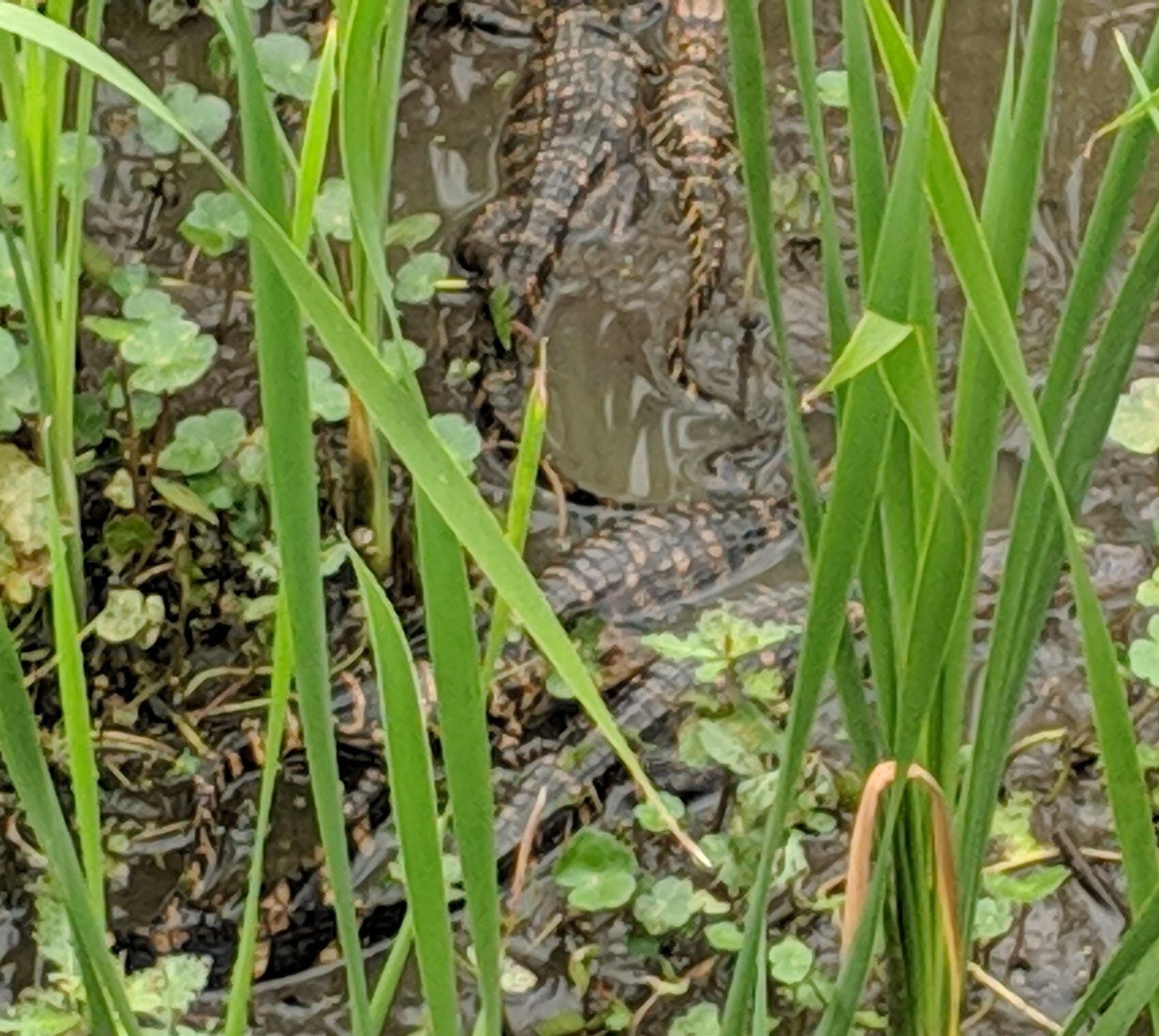 Baby gators.