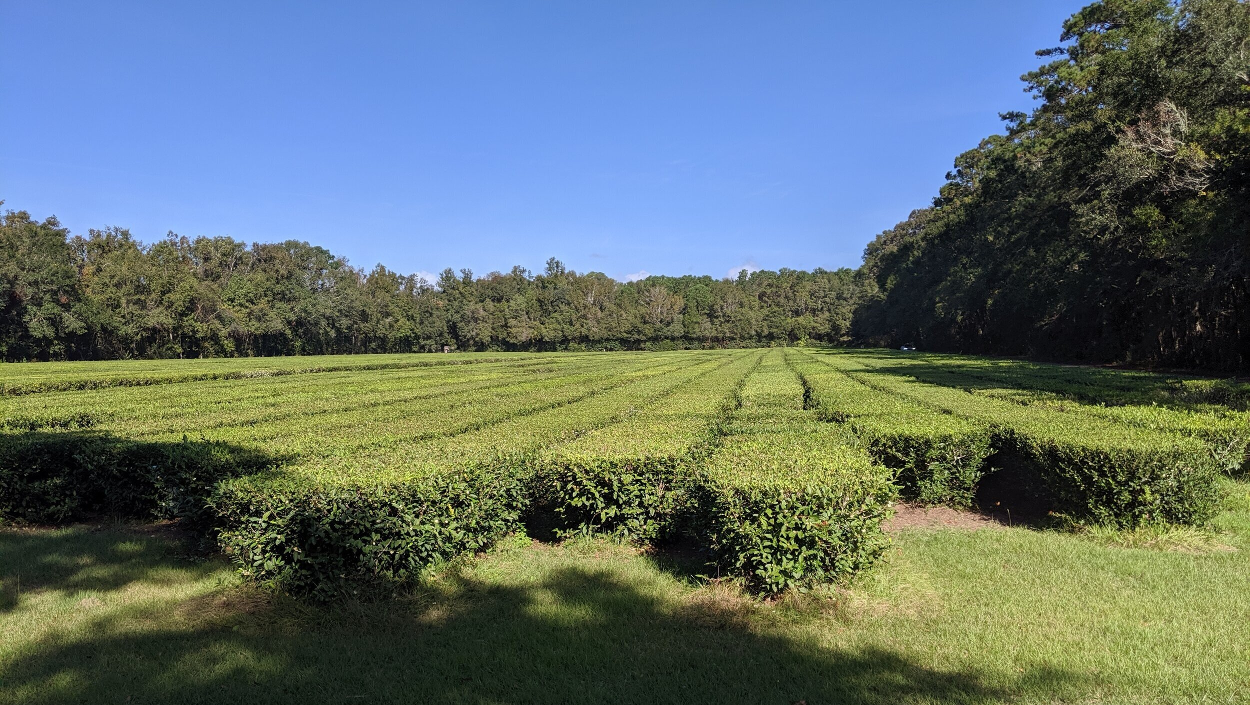 This is a field of tea plants. Half the year, 5-8 inches are trimmed are trimmed off the top every 21 days. The rest of the year they go dormant. These are ALL based on cuttings from China in the 1800's. The plants stay in place going forward—there are plants in Asia that are 600+ years old.