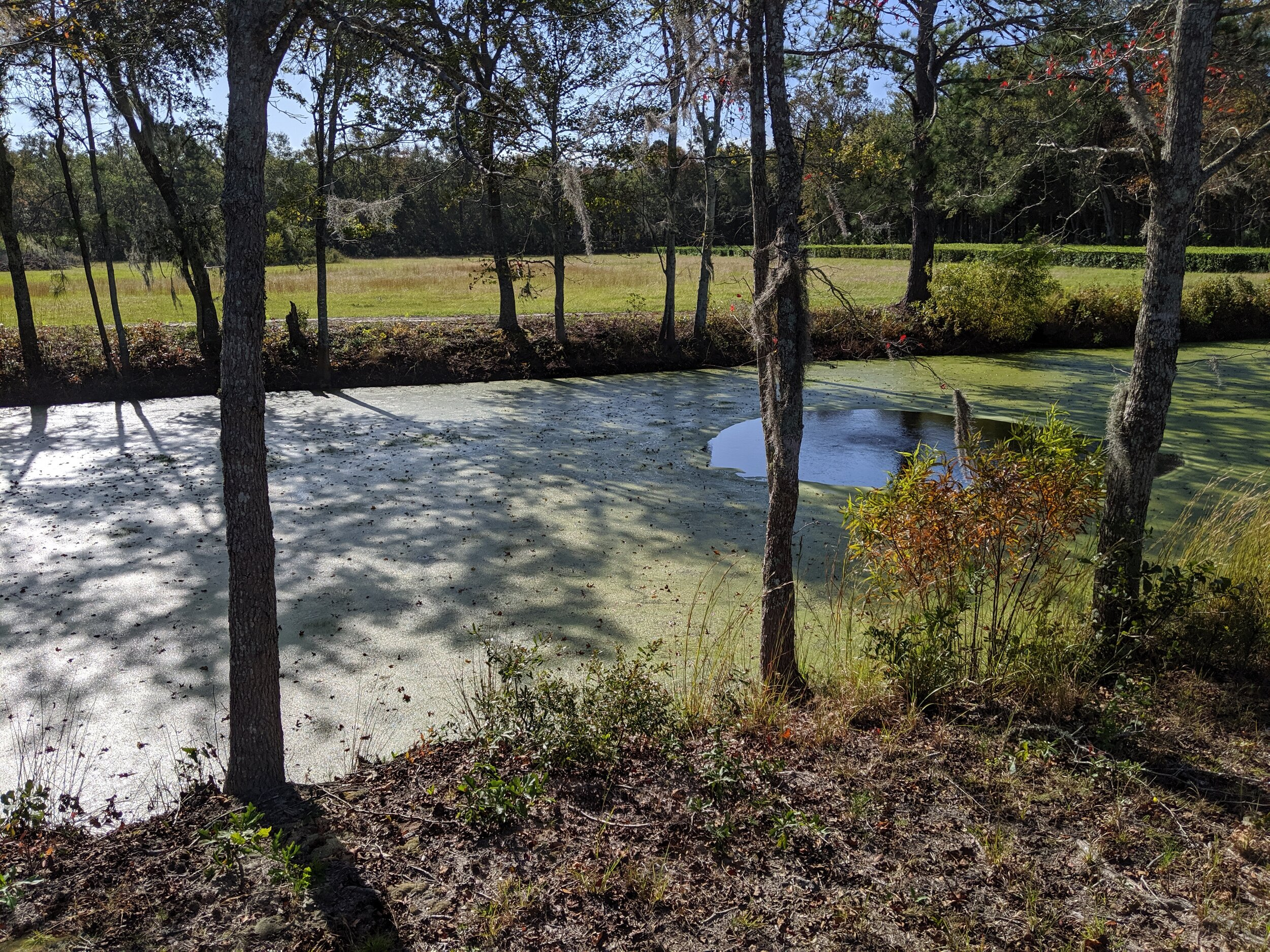 As no insecticides (or pesticides) are used here, this pond is stocked with fish and an alligator to eat up all the mosquito larva. Most other bugs (apart from butterflies) stay away due to the caffeine in the plants.