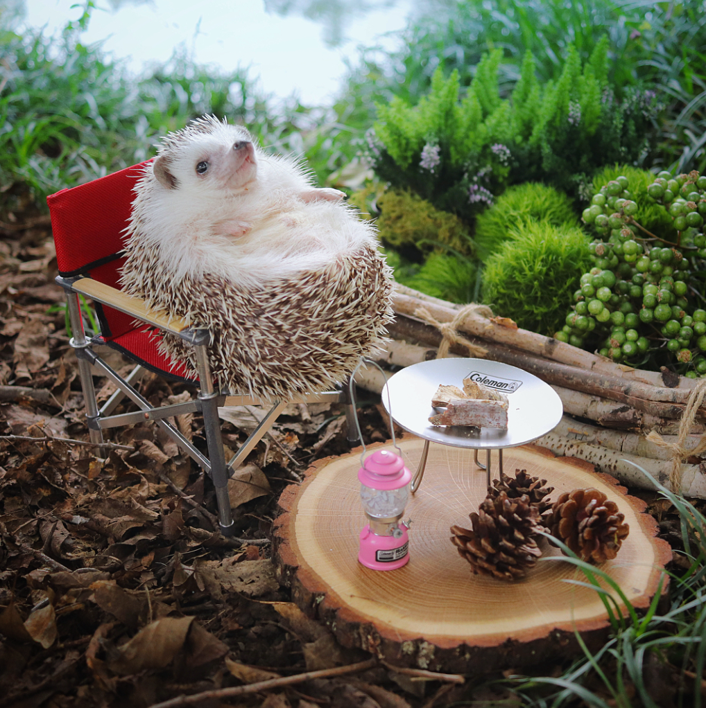 Today in adorableness: a tiny hedgehog goes camping. Image via Design Taxi
