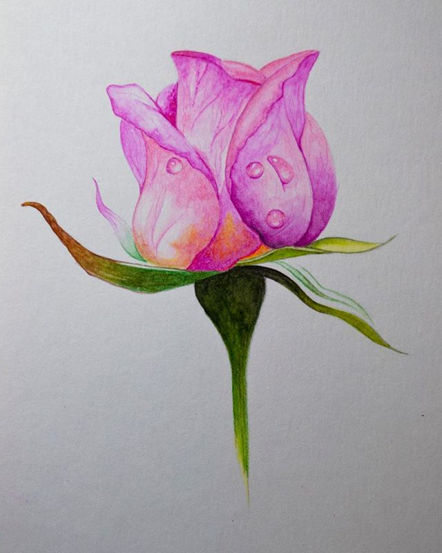 I created this quick drawing using the @stabilo Aquacolor Pencils that I have reviewed, to see the full review and speed drawing of this flower you can check out my YouTube channel or web site The Art Gear Guide. Really beautiful pencils and well worth the incredibly low price. #stabilo #stabiloaquacolor