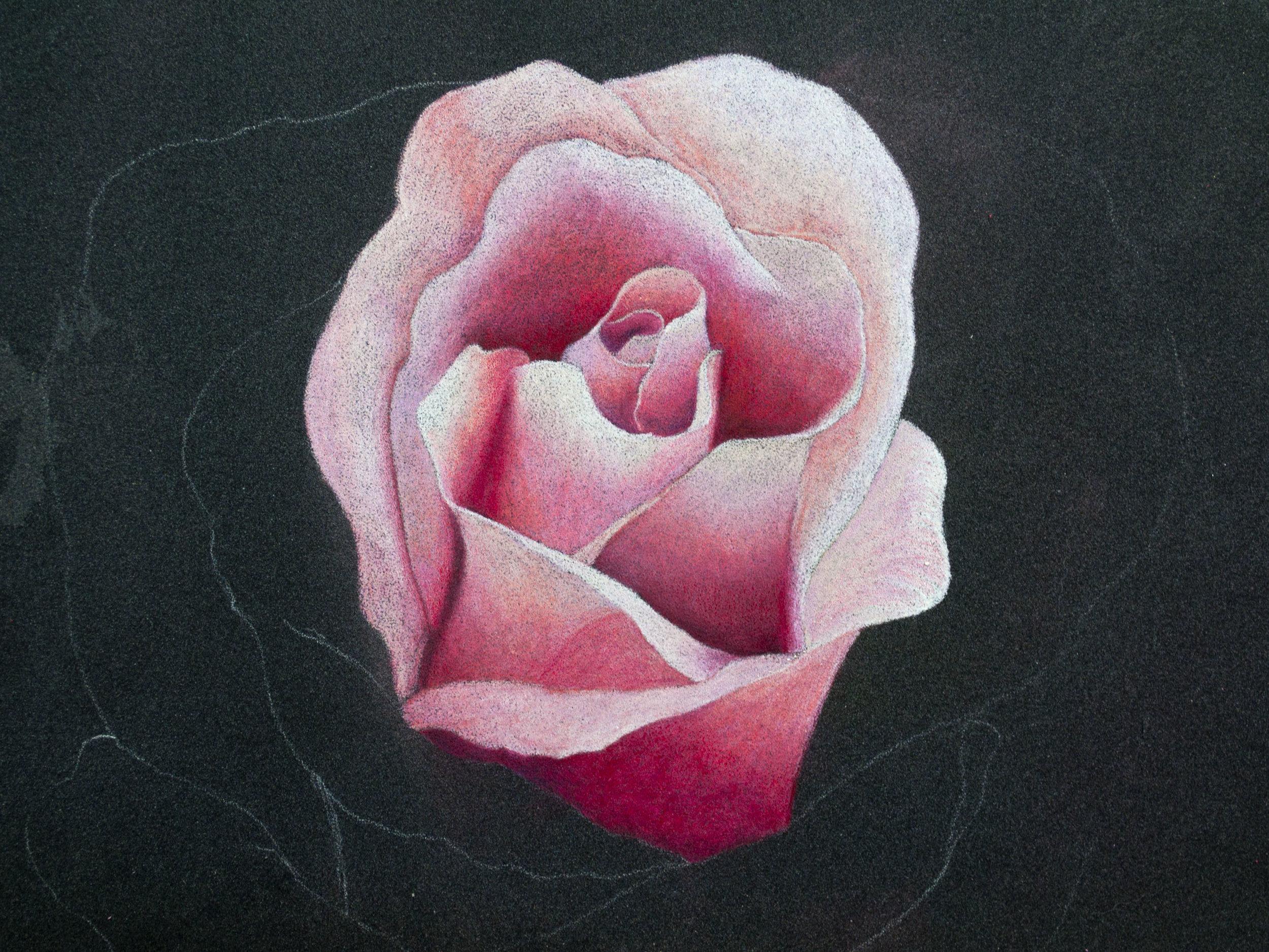 Derwent Artist Rose Image 5.jpg