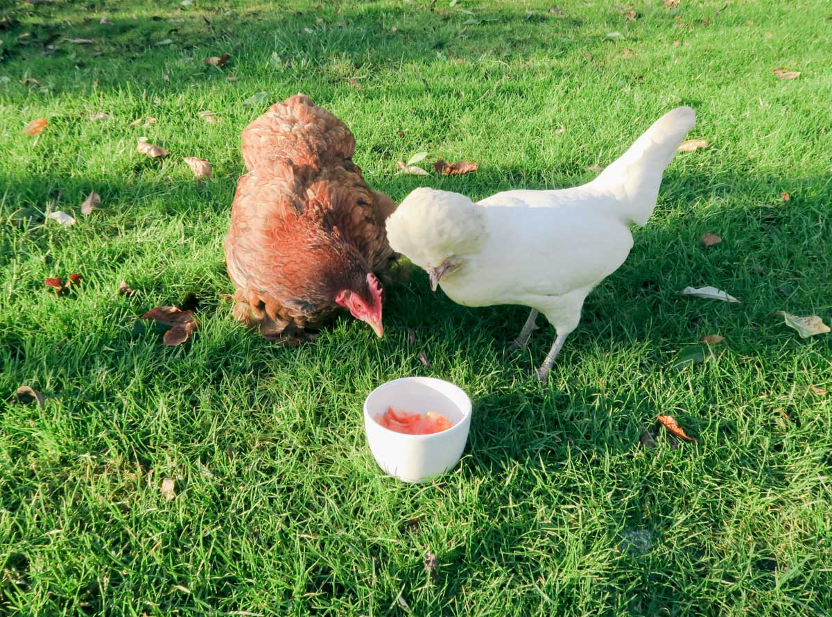Oooo, what have we here? Cluck cluck!