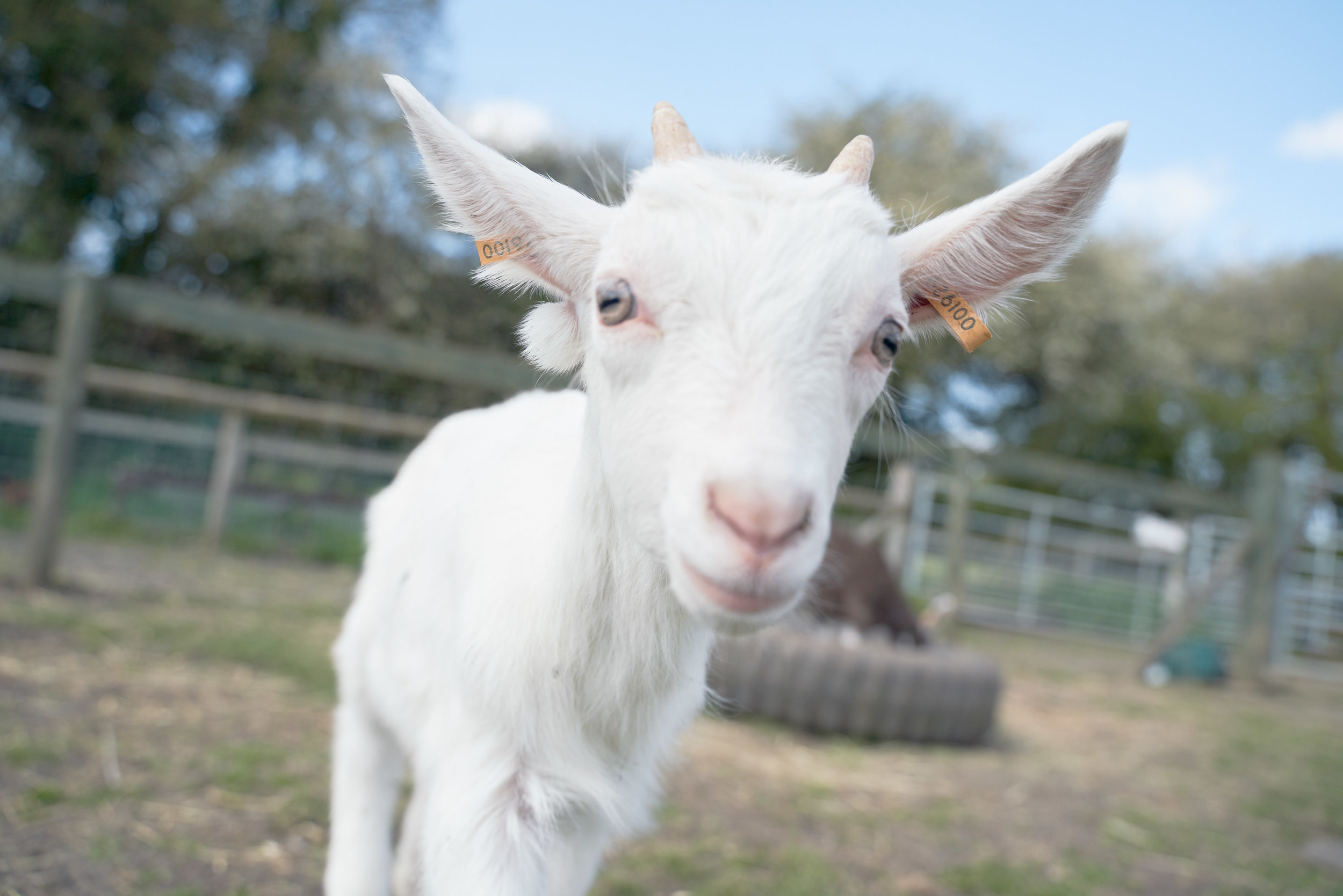 Here follows a series of photos of animals saved from our plates, living out their lives at the glorious  Goatacre Animal Sanctuary.  Taken by  Gareth Iwan Jones.  Follow Goatacre on Instagram for more lovely pictures.