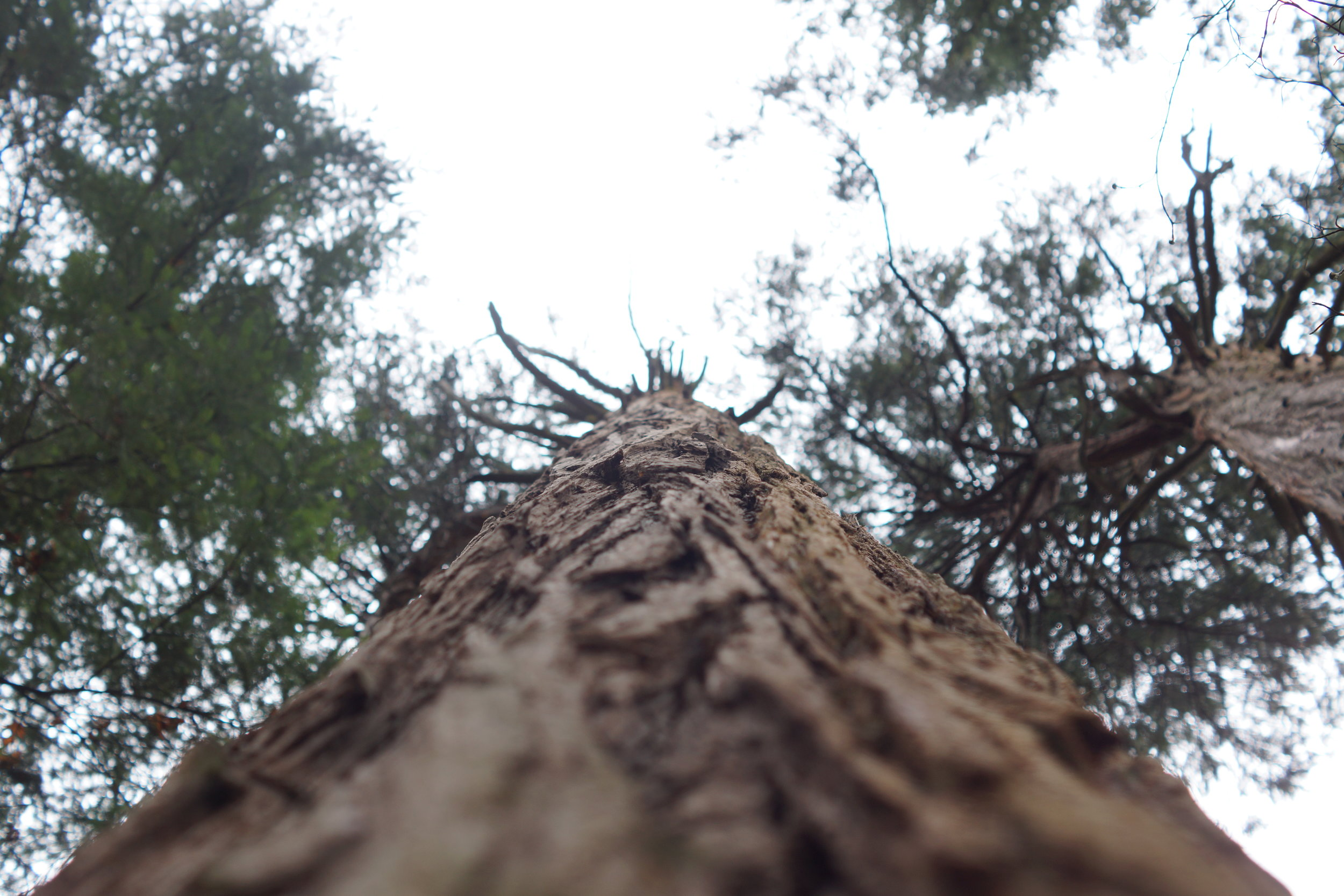 A way to live as long as the Redwoods?    By Ashley Amado