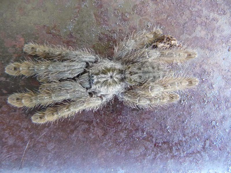 Above: the spectral beauty of  Heteroscodra maculata .