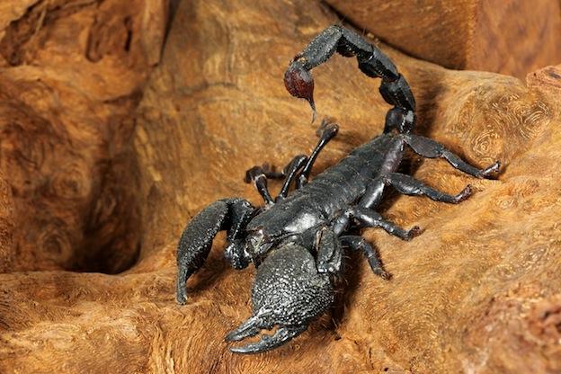 Above: the Emperor Scorpion  (Pandinus imperator)  of West Africa.