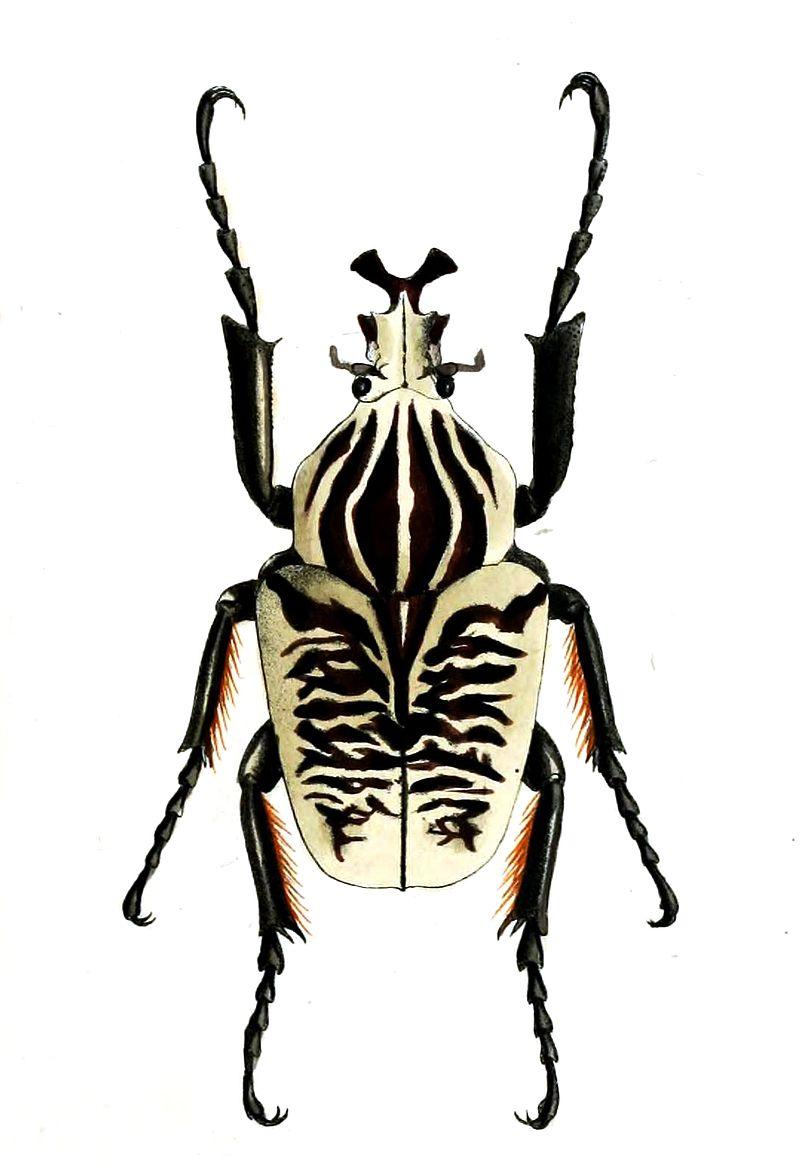 Above:  Goliathus albosignatus.  [Source: Wikipedia]