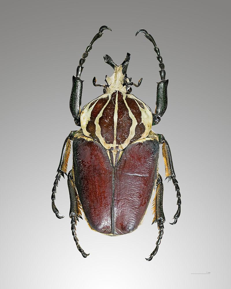 Above:  Goliathus giganteus.  [Source: Wikipedia]