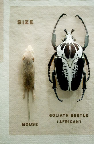 Above: Goliath beetle and mouse.