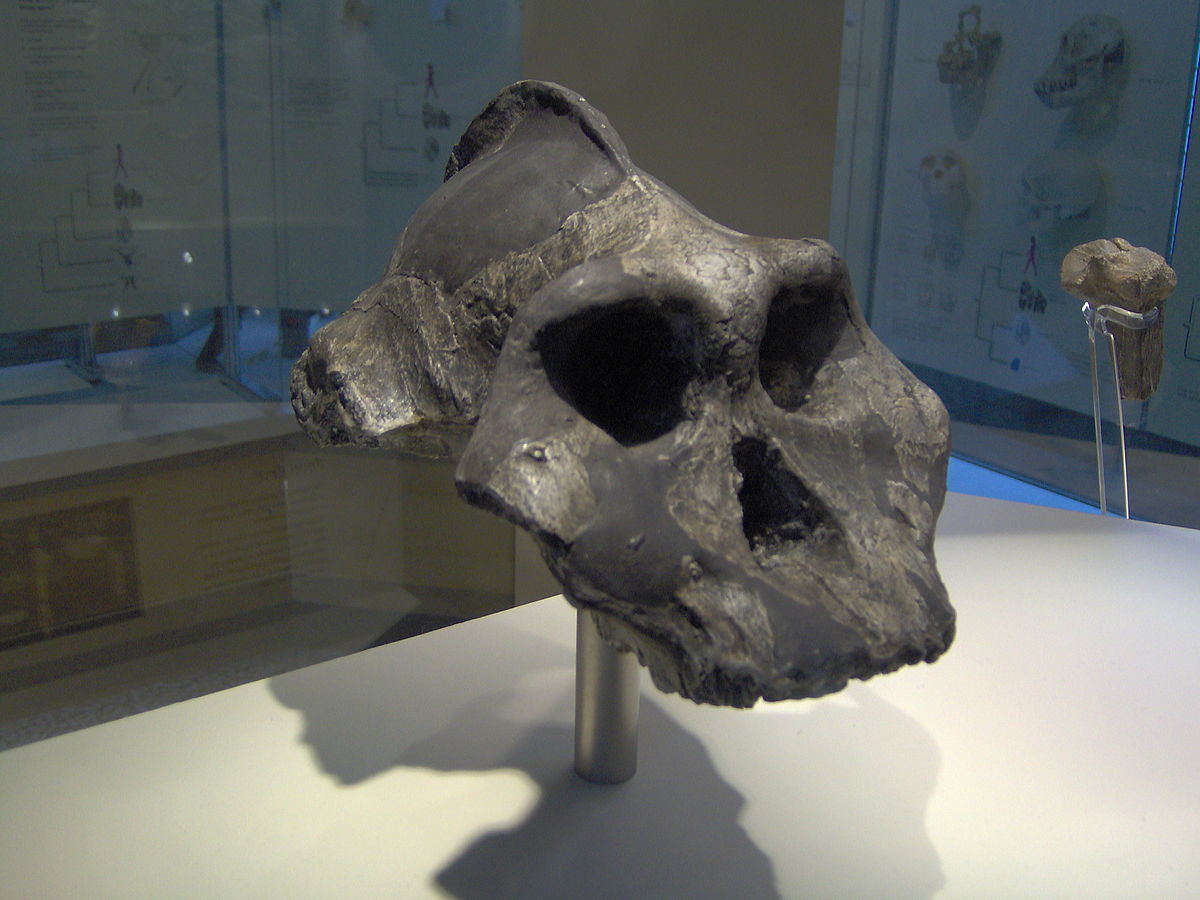Earliest Africans: skull of  Paranthropus aethiopicus  showing the sagittal crest -- a pronounced ridge of bone on top that served to anchor muscles used in heavy chewing. Age: 2.5 million years. (  CC BY-SA 3.0 )