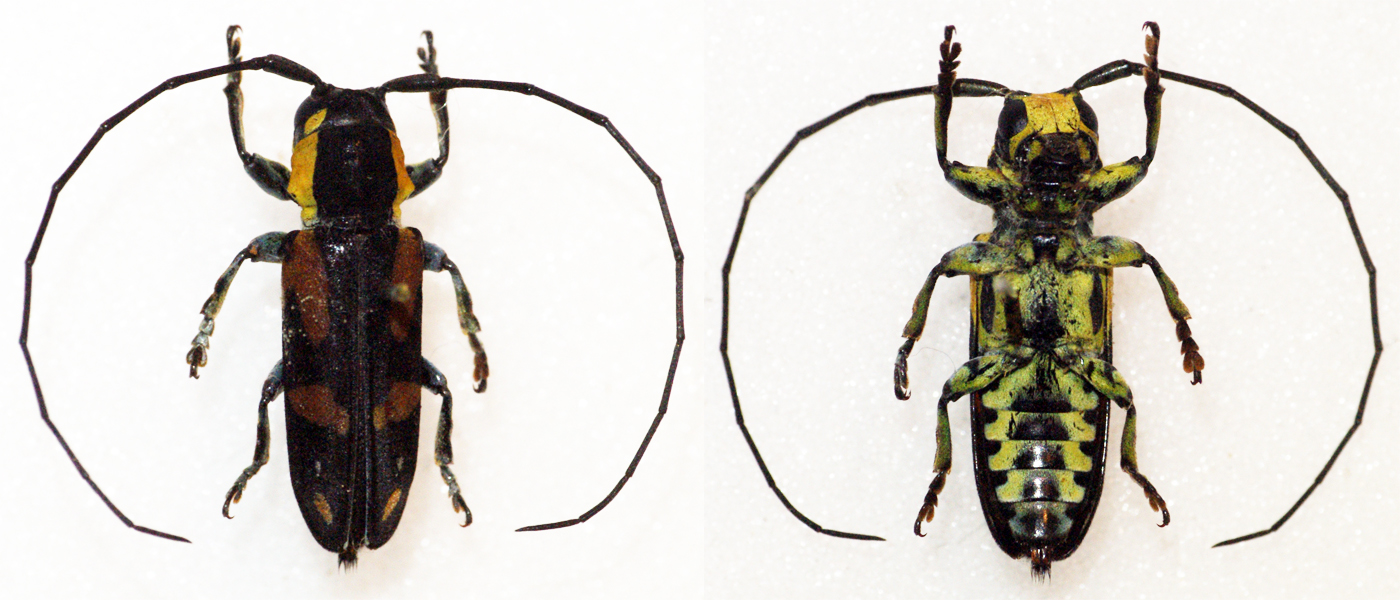 Above:  Tragocephala nobilis , a West African longhorn beetle.