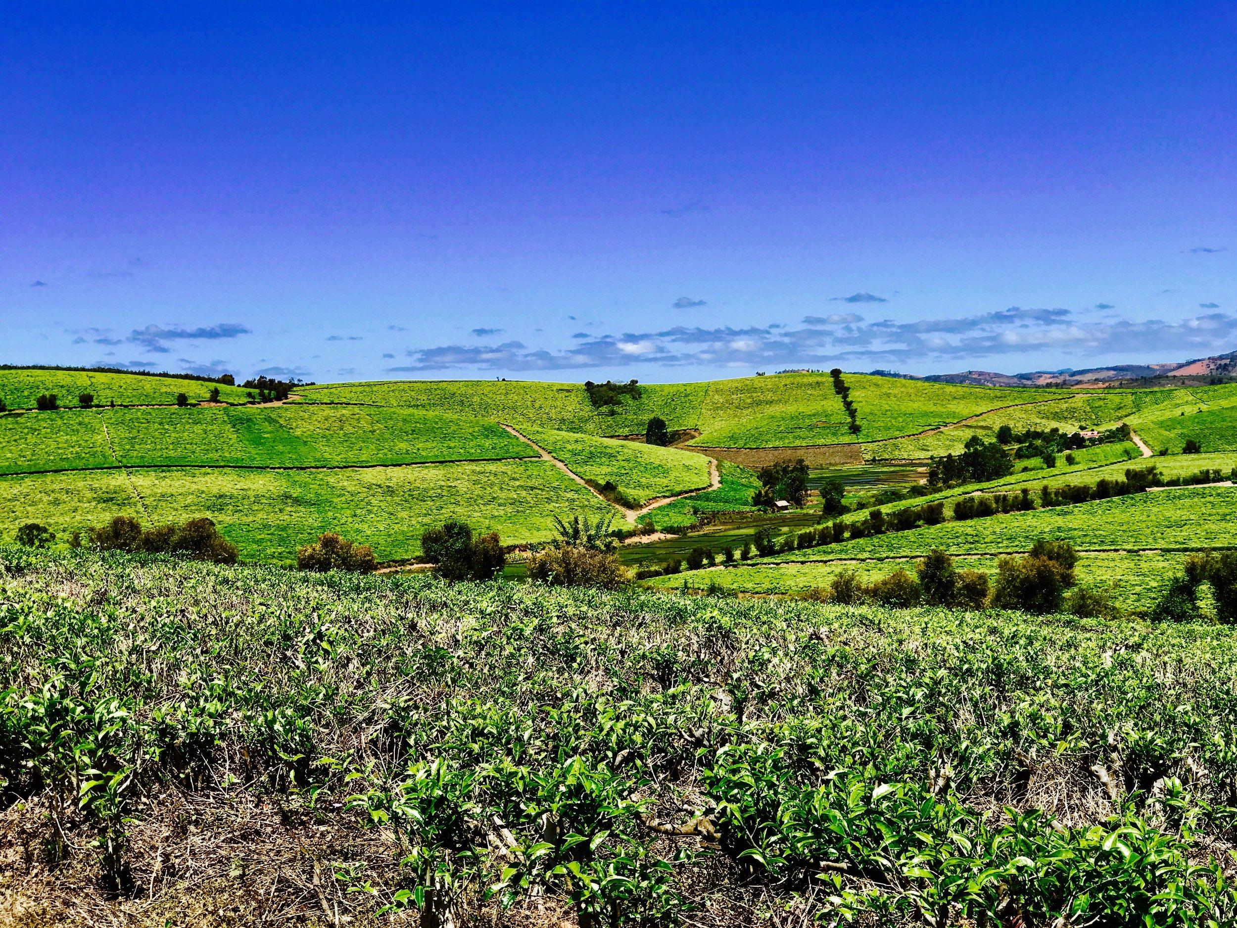 The Tea Fields in Sahambavy. Photo by: Jennifer Manzanillo