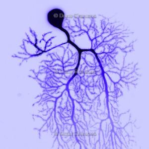 Cajal 3.jpg