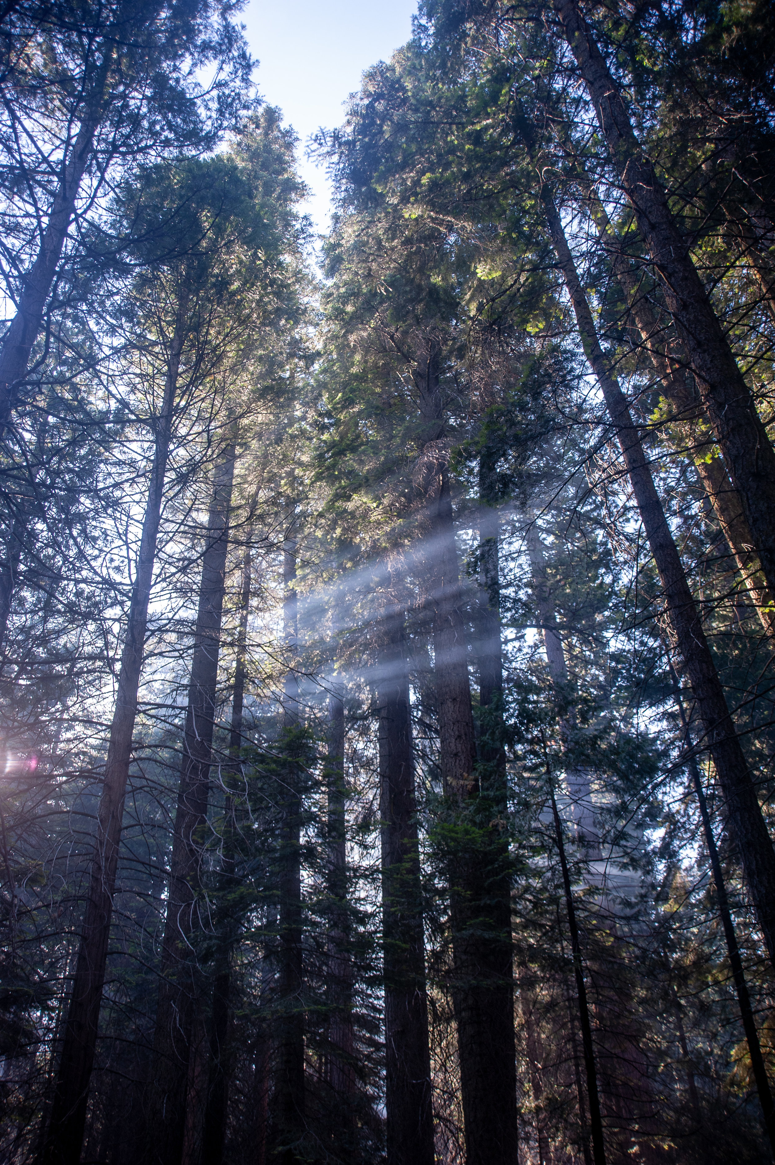 Sunlight through the Sequoia Trees in our Sheeps Creek Campsite