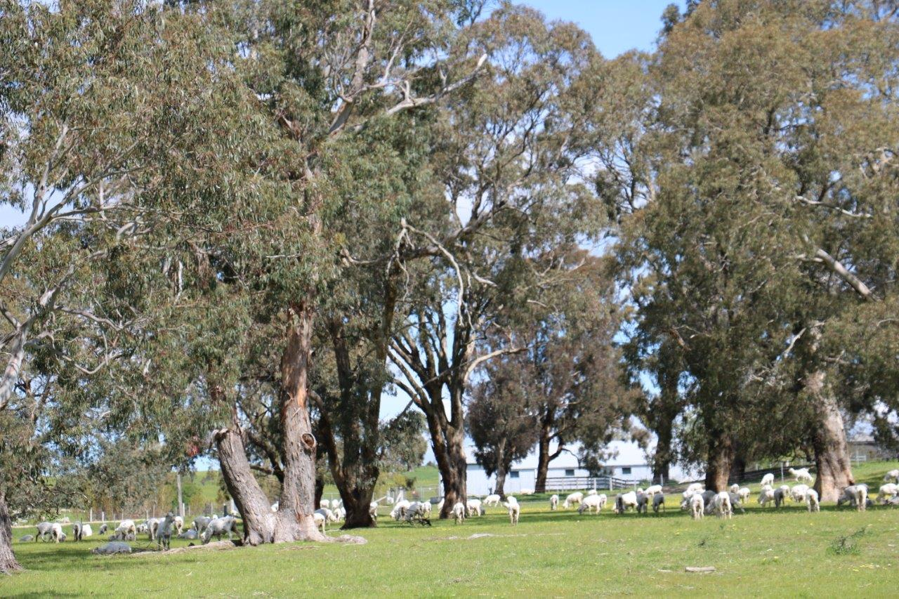 sheltered paddocks after shearing