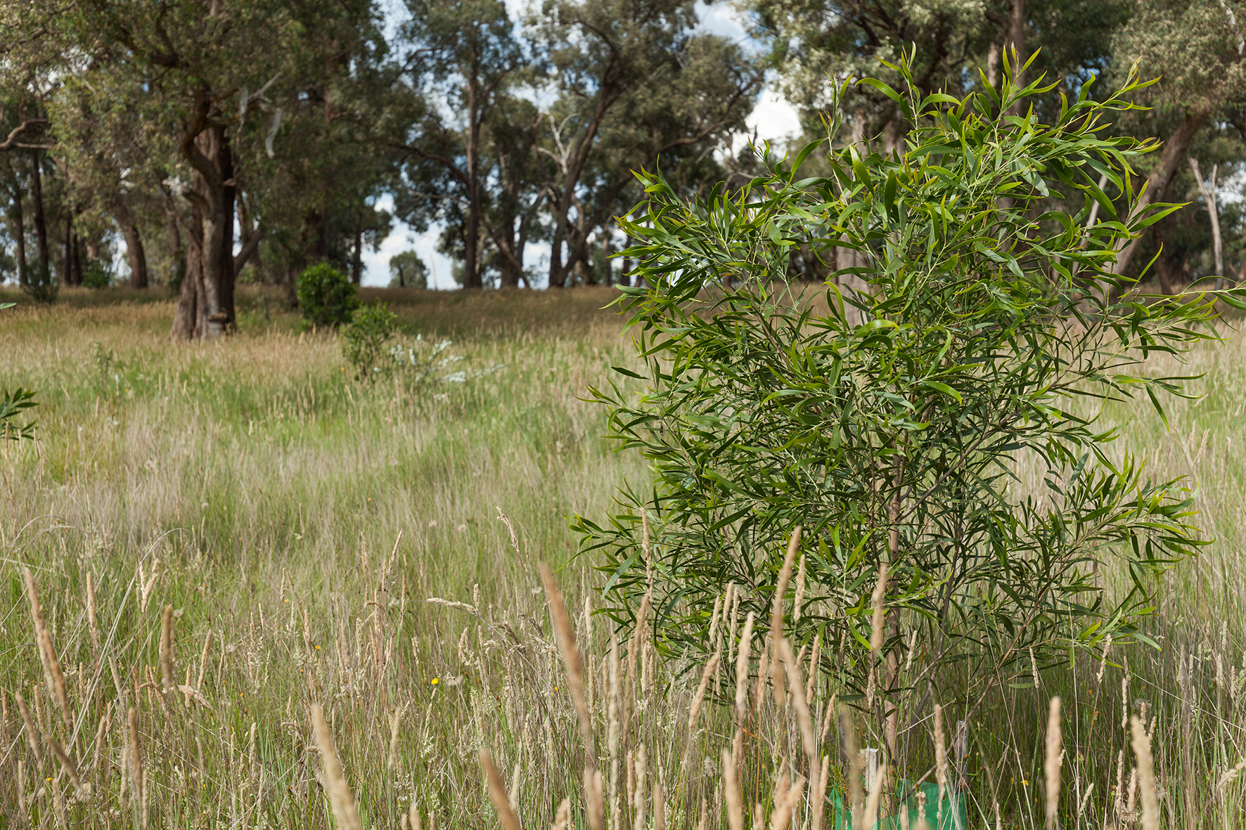 Native trees planted in paddocks