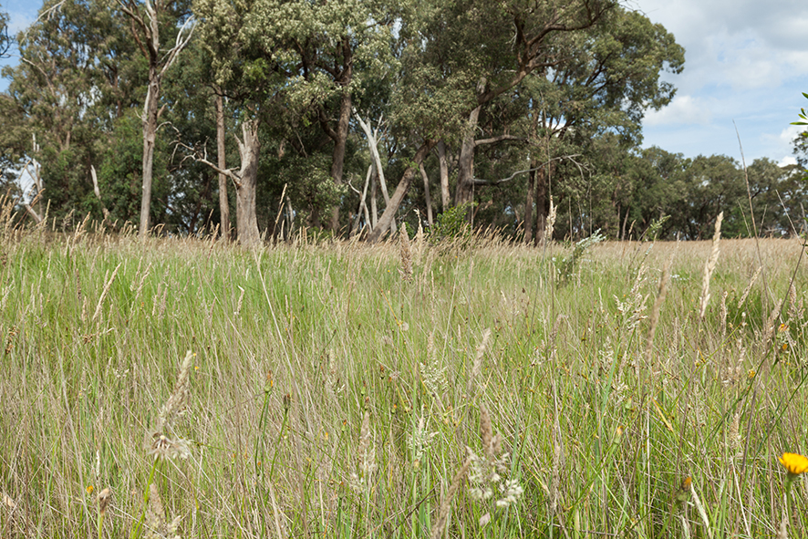 A stand of mature eucalypts provides habitat for wildlife