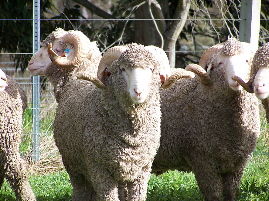 Breeding of fly resistant sheep with fewer skin folds