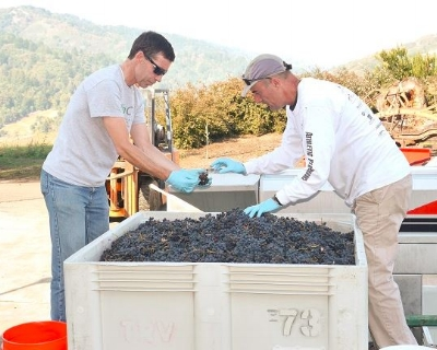 The two owners of Left Bend Winery sorting through some grapes. (Left is Richard Hanke and on the right is Gary Robinson)