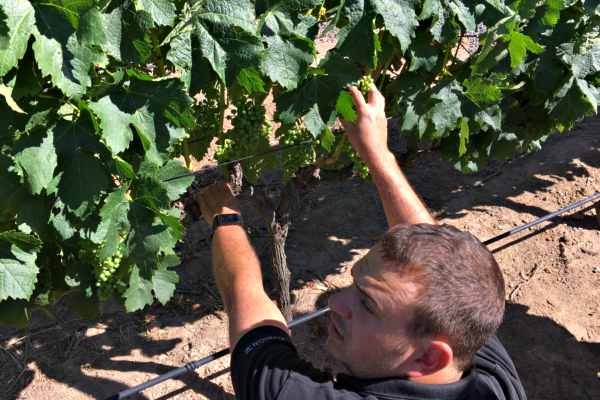 Winemaker at the Vines