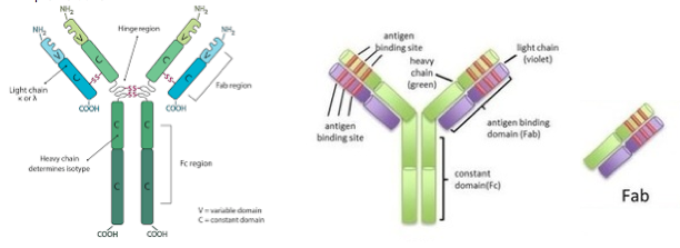 (Left) Image Credit: https://bxcell.com/antibody-structure/  (Right) Image Credit: https://www.scoop.it/t/victrelis-boceprevir-merck-fda-review-approval/p/4069081506/2016/09/13/scfv-fab-construction-and-purification-fab-creative-biolabs