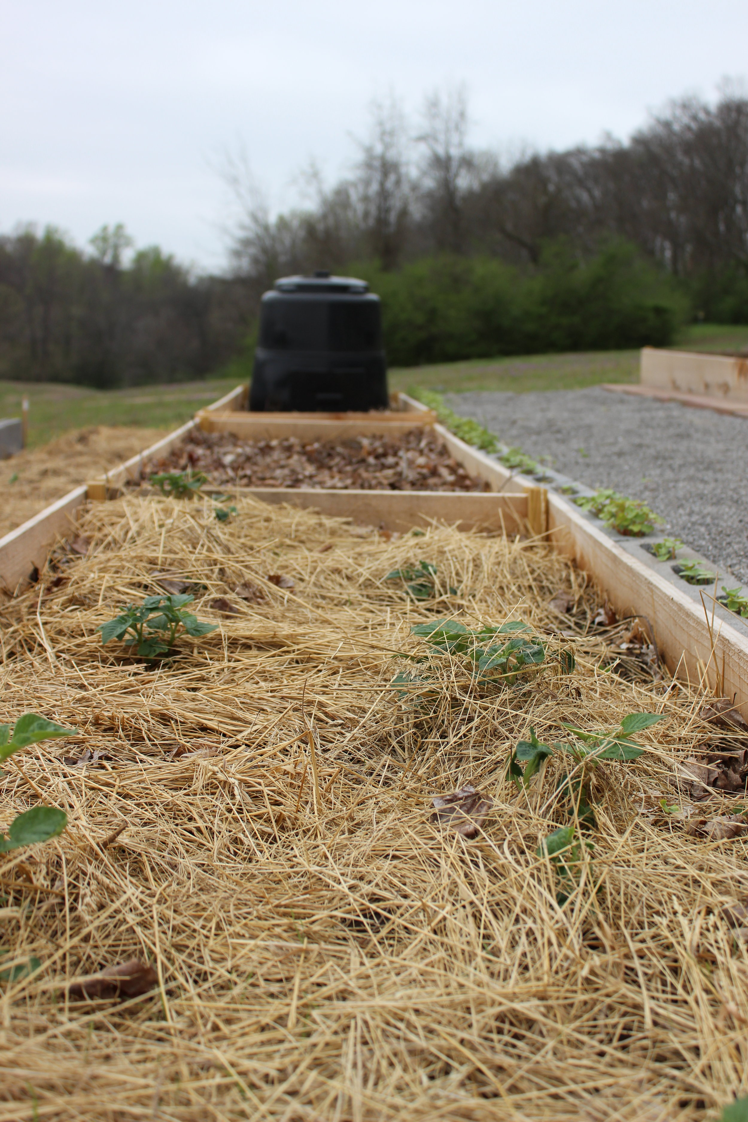 Students wasted no time planting in potatoes!