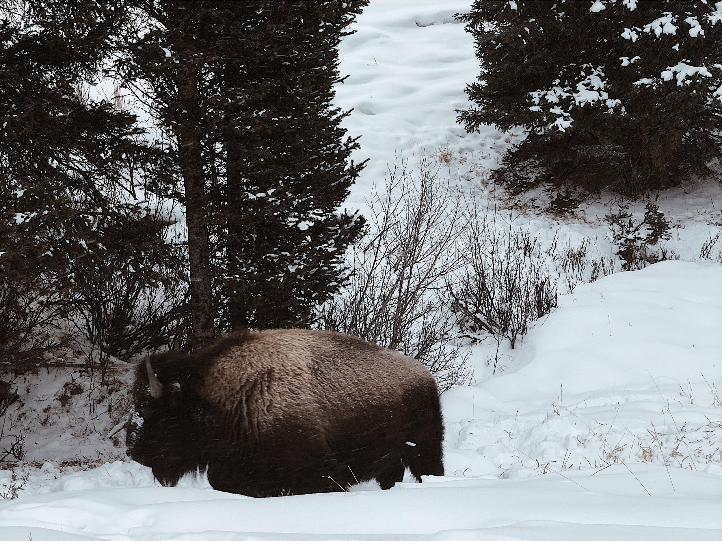 yellowstone_bison.jpg