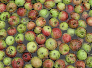 Apples being cleaned in water prior to pressing into cider