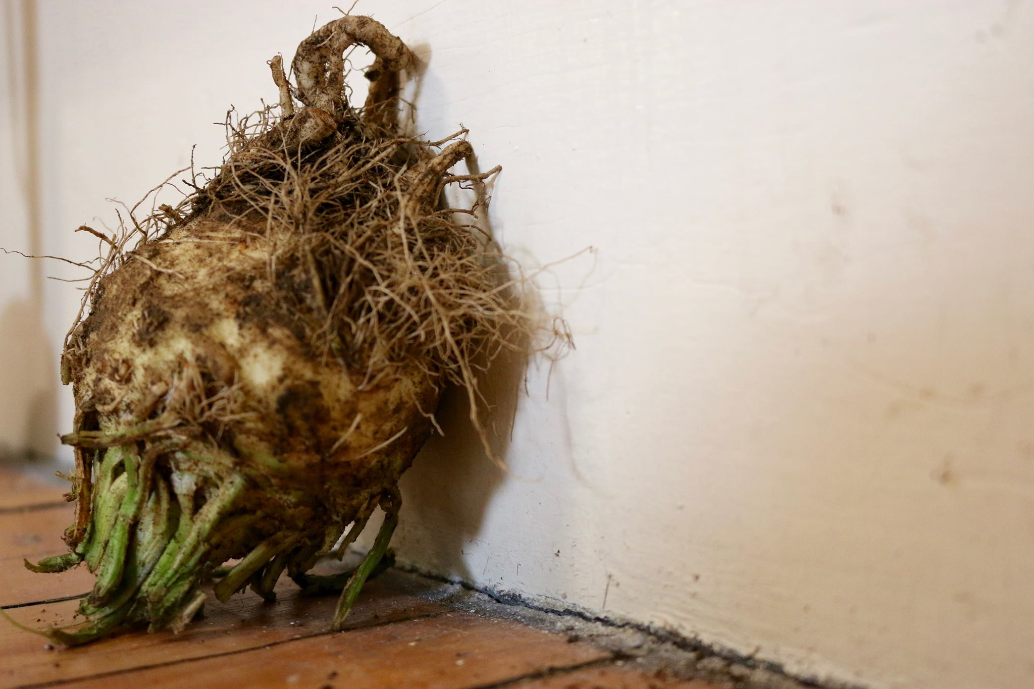 A Moody Celeriac Leans Thoughtfully Against the Wall.