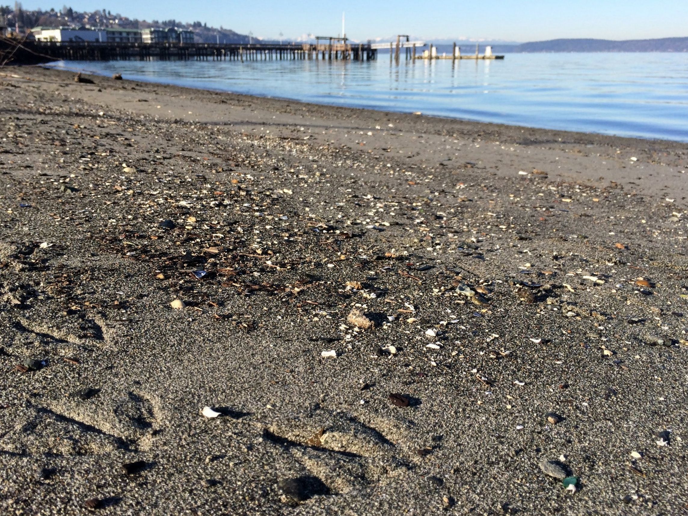 Bird tracks and shells on the shore of Commencement Bay.