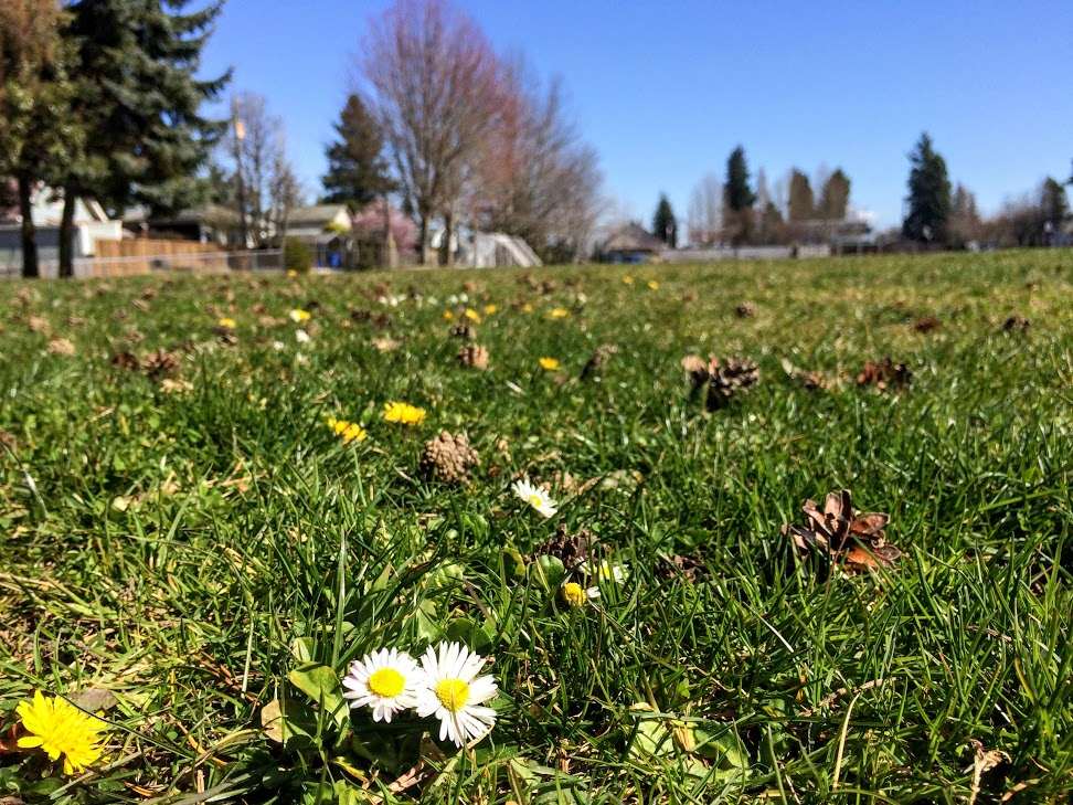 Dandelions and lawn daisies brighten the grass at Baltimore Park with plenty of space for your picnic blanket.