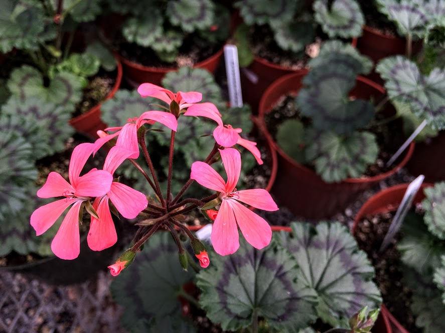 One more bright geranium photo, but don't be fooled by all the flowers. There are so many veggies and herbs to see and bring home too!