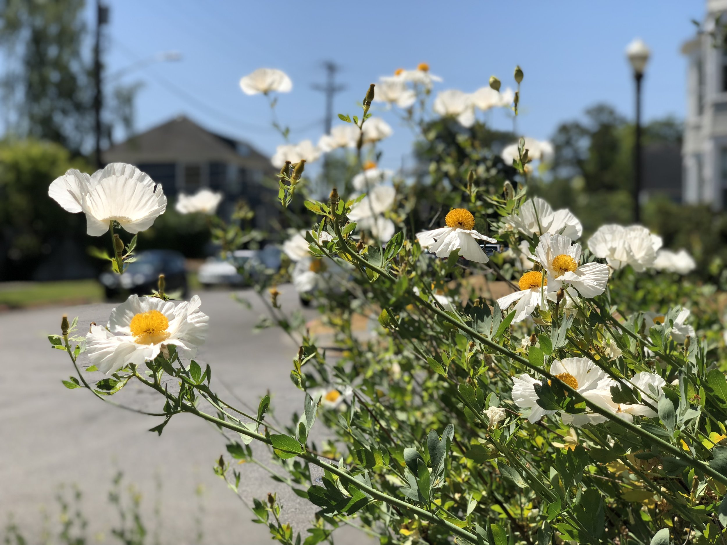 Matilija poppy growing happily on a Tacoma sidewalk corner in mid July.