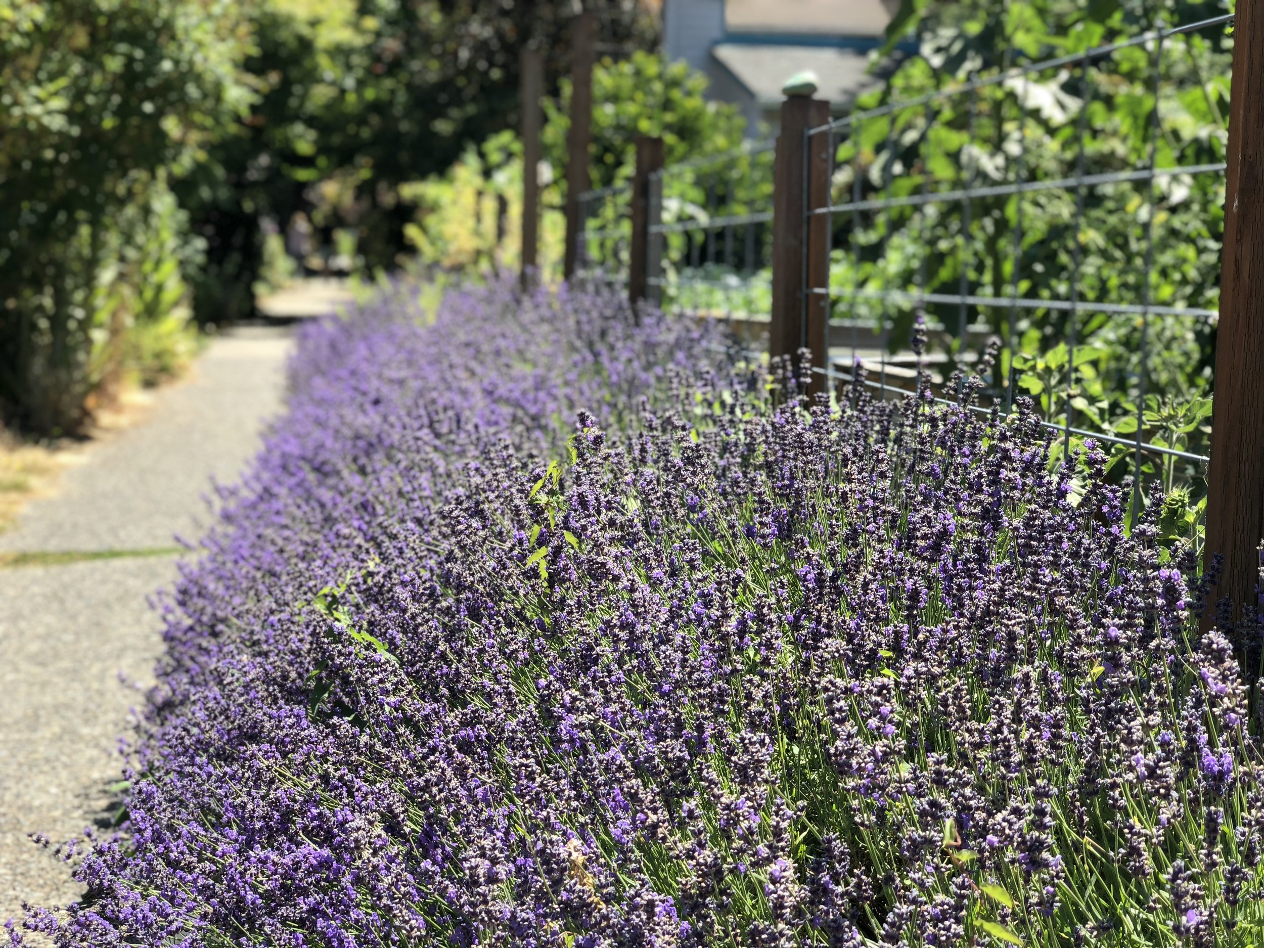 Lavender and friendly fences.