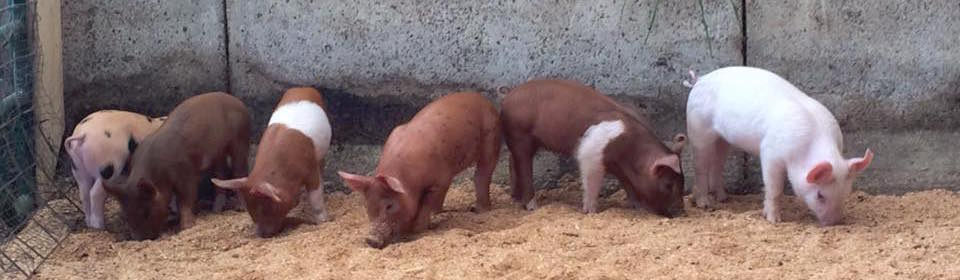 Piglets arrive at Roselily Farm in Brattleboro, VT